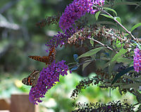 Blog-many-butterflies-web