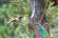 Blog-hummingbird