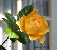 Blog-rose-2-24