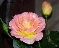 Blog-rose1