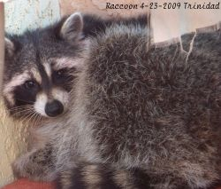 Blog-raccoon