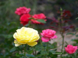Blog-roses