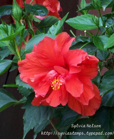 Blog-5-19-2013-hibiscus
